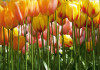 Tulips, photo murale, 360x254 cm, 4 parts