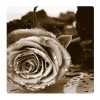 Black and white rose, Photo pour accrocher au mur faite en plexiglass 29 x 29 cm