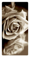 White rose, Photo pour accrocher au mur faite en plexiglass 29 x 55 cm vertical