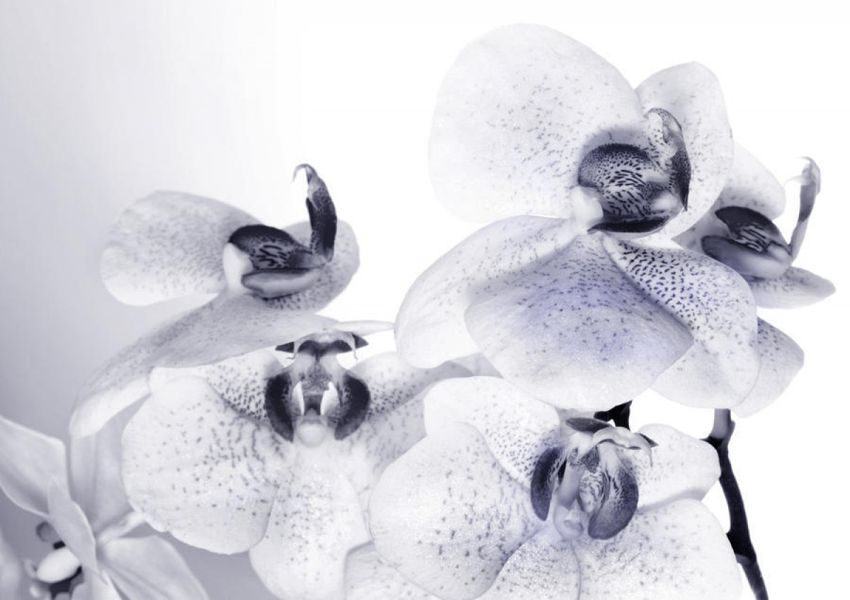 Orchids black and white, photo murale, 360x254 cm, 4 parts