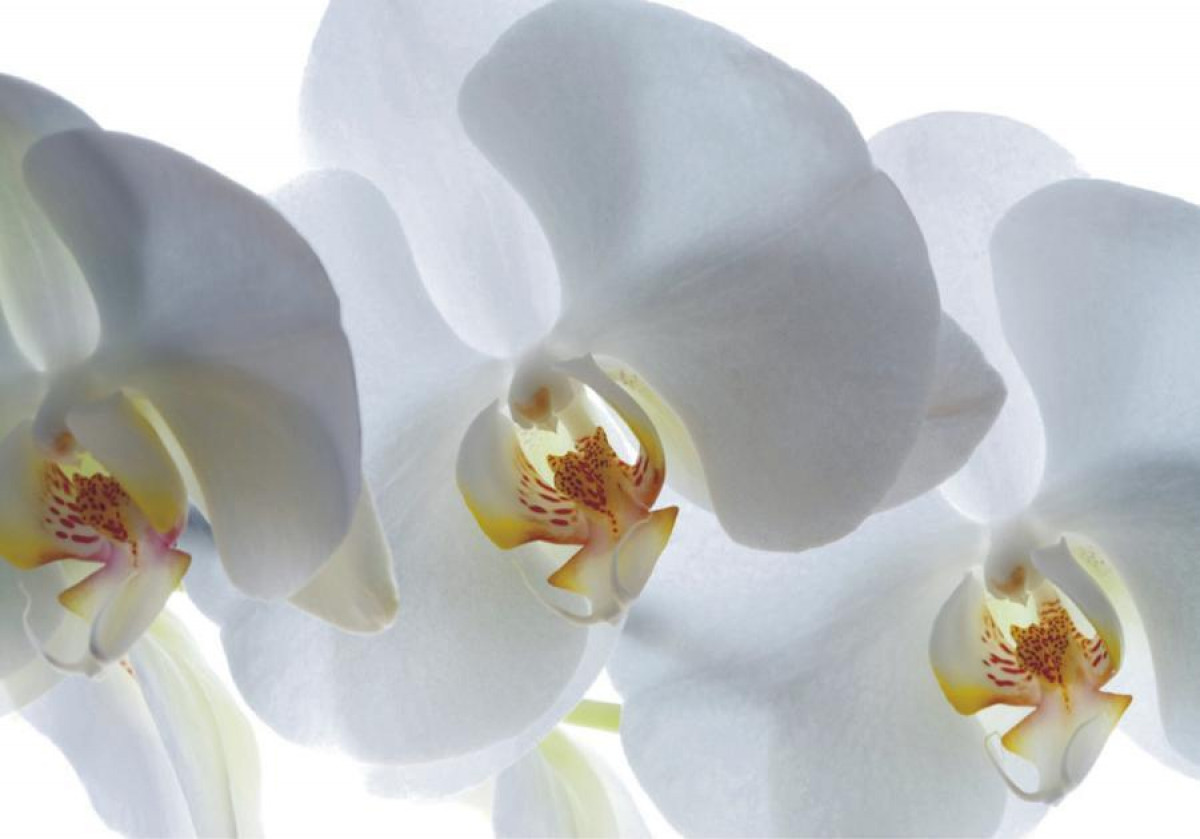 White orchid, photo murale, 180x127 cm, 1 part