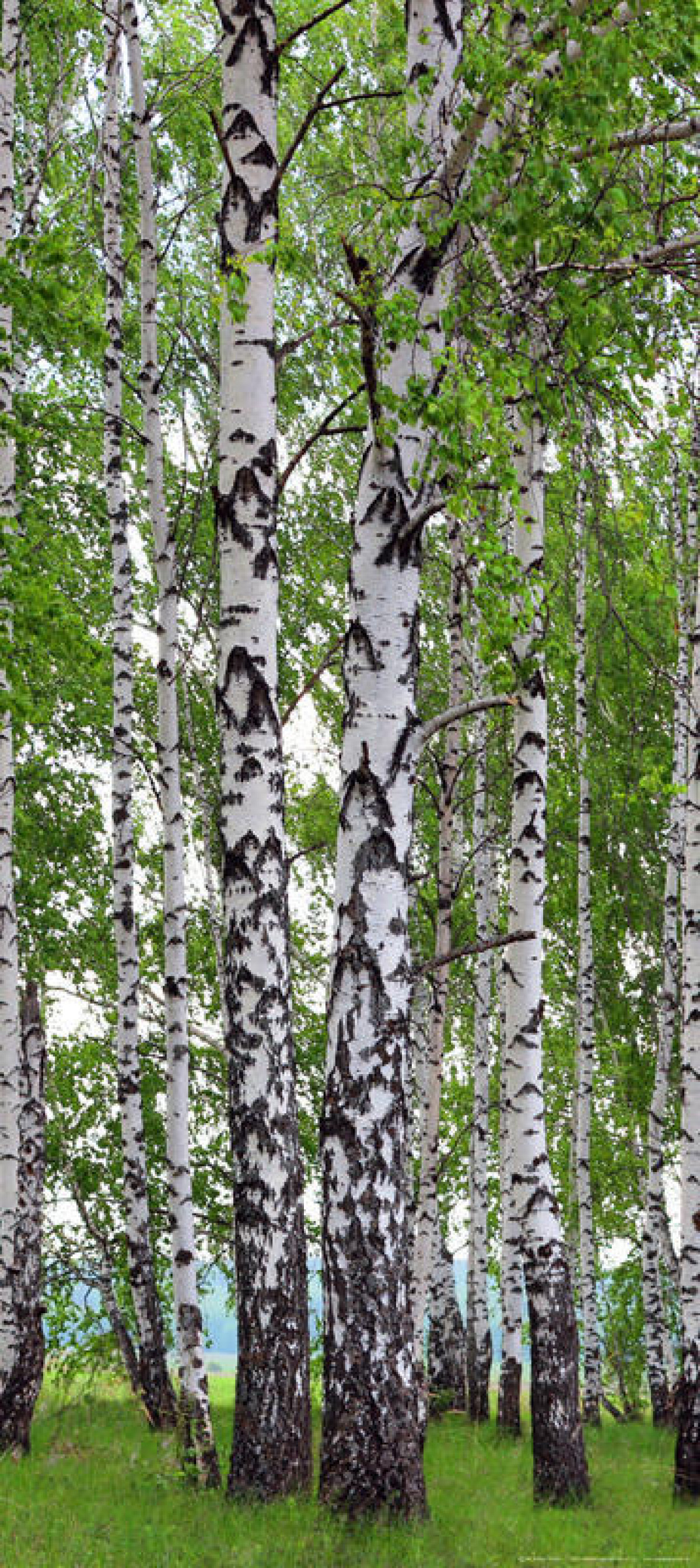 Birch's wood, paper photo mural, 90x202 cm, 1 part