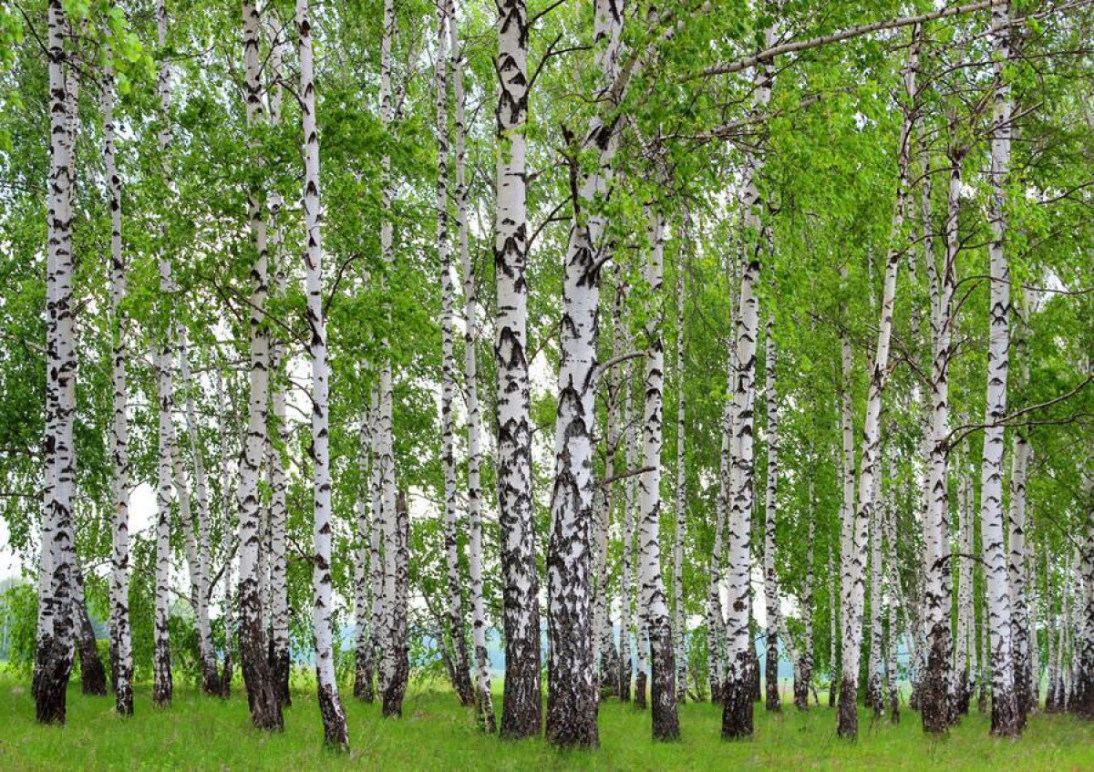 Berry-birch, photo murale intissée, 360x270 cm, 4 parts
