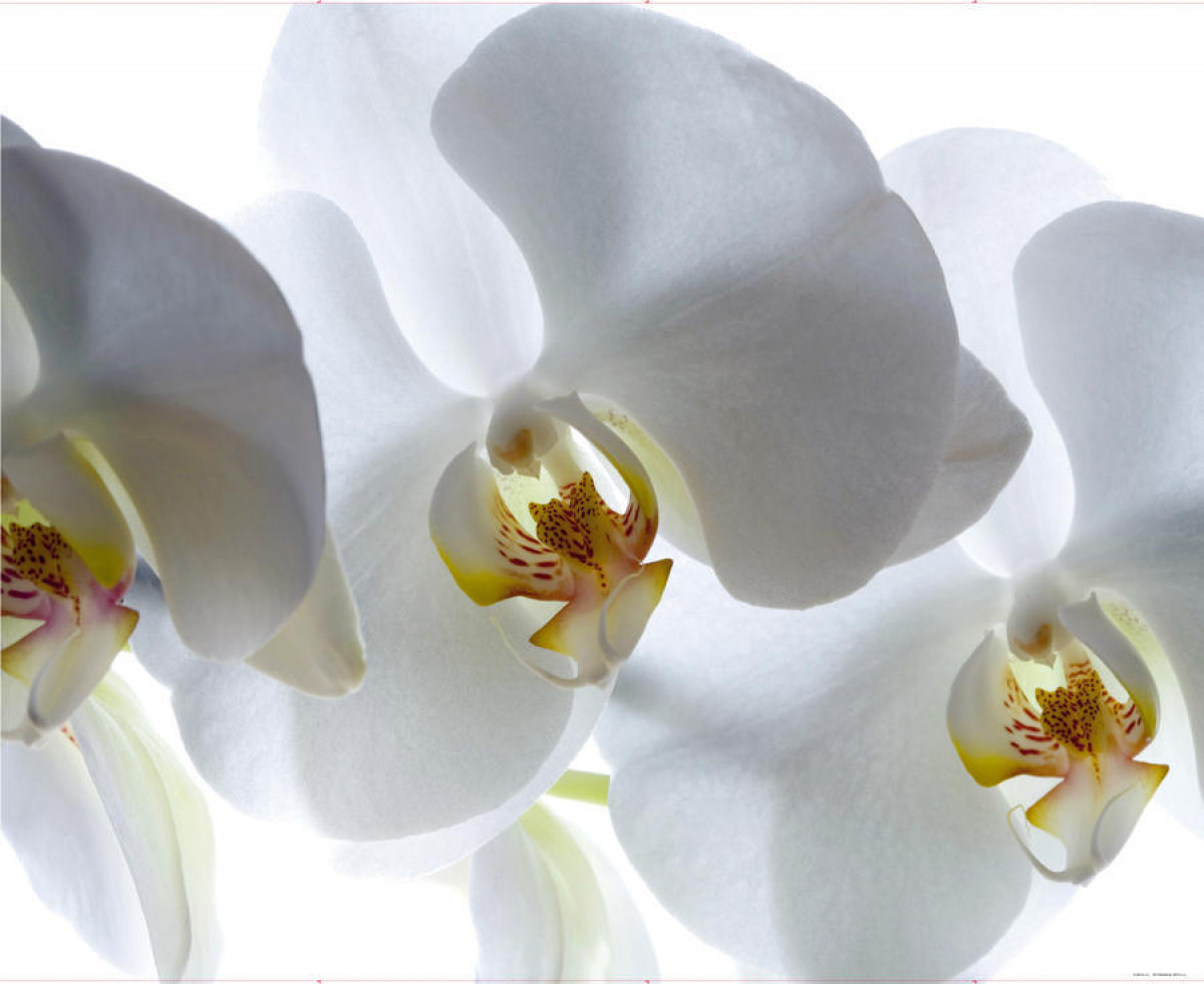 White orchid, photo murale intissée, 360x270 cm, 4 parts