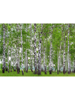 Birch grove, photo murale, 360x254 cm, 4 parts