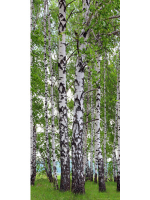 Birch's wood, intissé photo mural, 90 x 202 cm, 1 part
