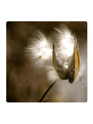 Dandelion, Photo pour accrocher au mur faite en plexiglass 29 x 29 cm